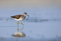 Side view of walking Wood Sandpiper at the shallow water of the Royalty Free Stock Photos