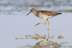 Side view of walking Wood Sandpiper at the shallow water Stock Photography