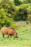 Side view of the Warthog eating in the green grass Stock Photos