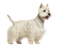 Side view of a West Highland White Terrier panting, 18 months Stock Image