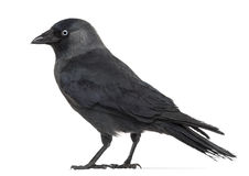Side view of a Western Jackdaw, Corvus monedula Royalty Free Stock Images