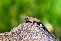 Side view of Western Side-blotched Lizard (Uta stansburiana elegans) sitting on a rock on a sunny day; blurred green background;. Mt Wilson, Los Angeles county royalty free stock photo