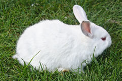 Side view of white bunny Royalty Free Stock Photography