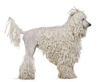 Side view of White Corded standard Poodle standing stock photos
