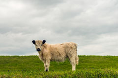 Side view white galloway calf with a thick coat standing next to. Side view of a white galloway calf with a thick coat and black ears curiousluyy looking at the Royalty Free Stock Image