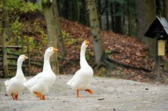 Side view of white goose. Side view of white goose close up stock image