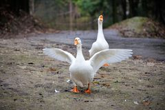 Side view of white goose. Side view of white goose close up stock photo
