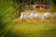 Side view of white goose standing green grass. Side view of white goose standing on green grass stock photos