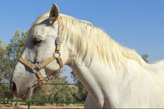 Side view of a white horse with olive groves at background Royalty Free Stock Photos
