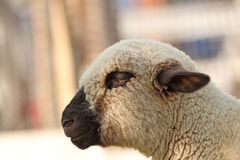 Side view of white lamb Royalty Free Stock Photo