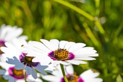 Side view of white and purple daisy wildflower royalty free stock photo