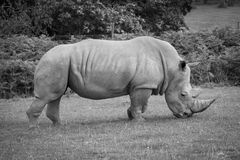 Side view of a white rhinoceros. Royalty Free Stock Image