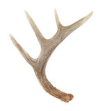 Side View of Whitetail Deer Antlers. Isolated on White royalty free stock photography