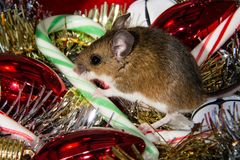 A brown house mouse, Mus musculus, with his paw on a candy cane, sitting in the middle of a pile of mixed Christmas decorations. Side view of a wild brown house Stock Image