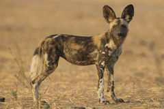 Side view of a Wild Dog pup looking at the camera. Side view of an African Wild Dog pup (lycaon pictus) looking at the camera Stock Photo