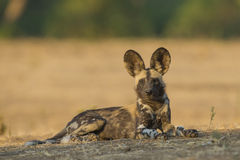 Side view of a Wild Dog pup looking at the camera. Side view of a Wild Dog pup (lycaon pictus) looking at the camera Stock Photos