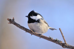 Side view of winter perching Coal Tit against blue sky backgroun Stock Images
