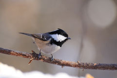 Side view of winter perching Coal Tit Royalty Free Stock Images