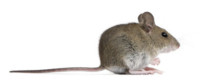 Side view of Wood mouse Stock Image