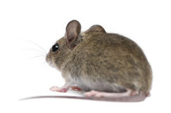 Side view of Wood mouse in Royalty Free Stock Images