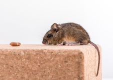 Side view of a cute wood mouse, Apodemus sylvaticus, sitting on a cork brick with light background, sniffing some royalty free stock image