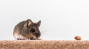 Side view of a wood mouse, Apodemus sylvaticus, sitting on a cork brick with light background, sniffing some peanuts. Side view of a wood mouse, Apodemus royalty free stock image
