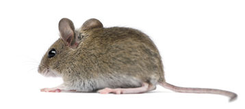 Side view of Wood mouse i Royalty Free Stock Photo
