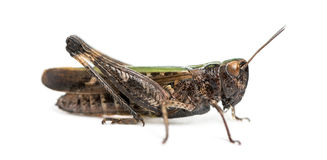 Side view of a Woodland Grasshopper, Omocestus rufipes Royalty Free Stock Photo