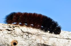 Woolly Bear Caterpillar or Isabella Tiger Moth, crawling on a stem. The side  view of a Woolly Bear Caterpillar crawling on a piece of drift wood.  This insect Stock Image