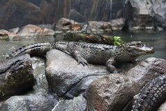 Side view of Yangtze Alligator Stock Images