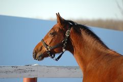 Side view of yearling horse. Side view of brown yearling horse wearing riding tack Royalty Free Stock Photo