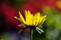 Side view of Yellow Coneflower (Rudbeckia, 'Irish Spring') Royalty Free Stock Photo