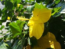 Side view yellow gumamela flower. Scientific name: Hibiscus rosa-sinensis on a sunny day stock photo
