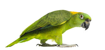 Side view of a Yellow-naped parrot walking (6 years old). Isolated on white Stock Photography