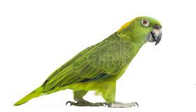 Side view of a Yellow-naped parrot walking (6 years old) Stock Images