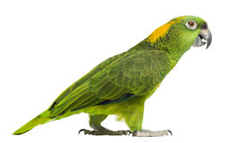 Side view of a Yellow-naped parrot walking (6 years old). Isolated on white Royalty Free Stock Photo