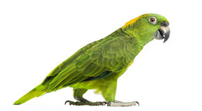 Side view of a Yellow-naped parrot walking (6 years old) Stock Photos