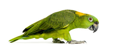 Side view of a Yellow-naped parrot walking (6 years old) Stock Image