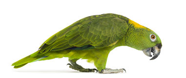 Side view of a Yellow-naped parrot walking (6 years old) Royalty Free Stock Photography
