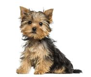 Side view of a Yorkshire Terrier puppy sitting, 3 months old. Isolated on white royalty free stock photography