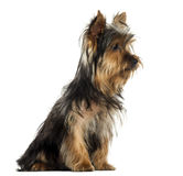 Side view of a Yorkshire terrier sitting, isolated Stock Photography