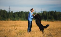 Young man walking with Bernese Mountain Dog on the summer field. Side view at a young caucasian man training Bernese Mountain Dog on the summer field stock photo