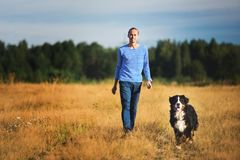 Young man walking with Bernese Mountain Dog on the summer field. Side view at a young caucasian man training Bernese Mountain Dog on the summer field royalty free stock image