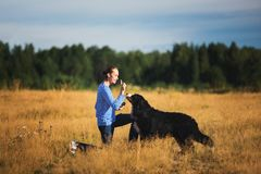 Young man walking with Bernese Mountain Dog on the summer field. Side view at a young caucasian man training Bernese Mountain Dog on the summer field royalty free stock images