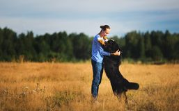 Young man walking with Bernese Mountain Dog on the summer field. Side view at a young caucasian man training Bernese Mountain Dog on the summer field stock photography