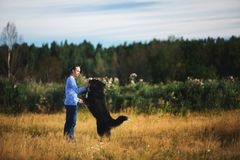Young man walking with Bernese Mountain Dog on the summer field. Side view at a young caucasian man training Bernese Mountain Dog on the summer field stock image