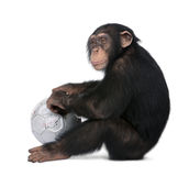 Side view of a Young Chimpanzee and his ball - Sim Stock Images