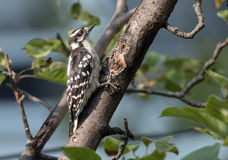 Juvenile Downy Woodpecker perching on branch Quebec. Side view of a young Downy Woodpecker  Dryobates pubescens perching on a branch of and old tree in Quebec Royalty Free Stock Photography