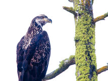 Side view of young eagle. Stock Photos