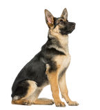 Side view on a young German shepherd sitting, looking up Royalty Free Stock Images